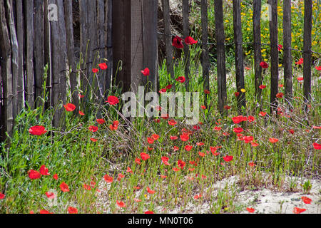 Spring meadow or corn poppy (Papaver rhoeas) at a wooden fence at village Ramatuelle, Cote d'Azur, Département Var, Provence-Alpes-Côte d'Azur, South - Stock Photo