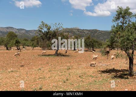 Sheep grazing in the foothills of the Serra de Tramuntana mountain range north of Palma, Mallorca Spain - Stock Photo