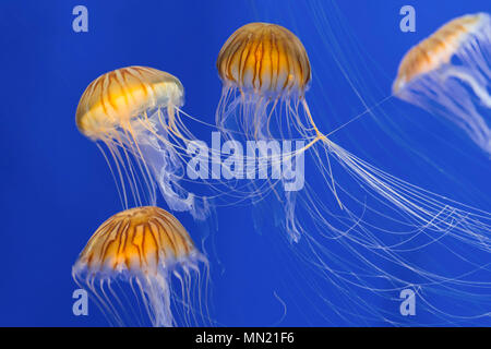 Bloom of Japanese sea nettles (Chrysaora pacifica) group of jellyfish swimming underwater - Stock Photo