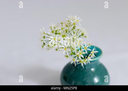 A posy of wild garlic flowers (Ramsons) in a handmade ceramic vase. - Stock Photo