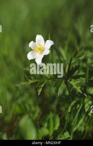 Flower Anemone nemorosa - Stock Photo