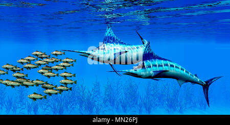 Marlin and Bocaccio Rockfish - Predatory Blue Marlin fish hunt a school of Bocaccio Rockfish over a kelp bed on the ocean floor.
