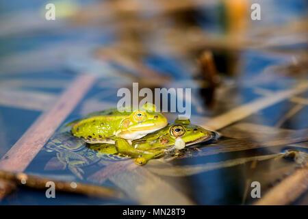 Green frogs  (Pelophylax kl.Esculentus) in springtime - Stock Photo
