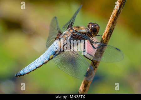 Beautiful blue dragonfly macro photography. - Stock Photo