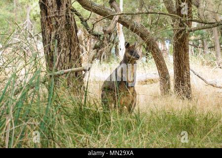 Wallaby under the trees in grassland in Phillip Island, Victoria, Australia - Stock Photo
