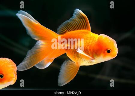 Gold fish swimming in aquarium close up - Stock Photo