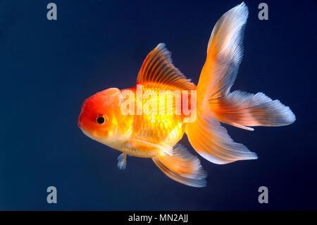 Gold fish swimming in aquarium - Stock Photo