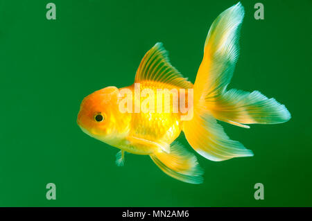 Lion head goldfish on green background - Stock Photo