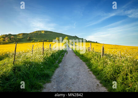 Rapeseed fields and pathway at Cley hill, Warminster, Wiltshire, Uk - Stock Photo