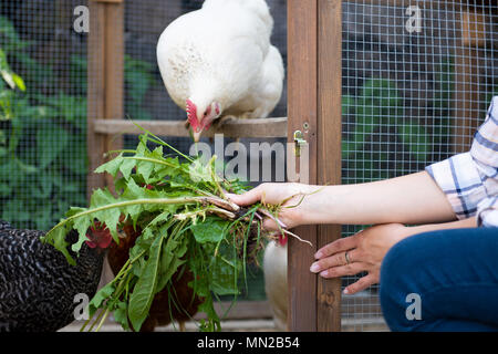 Unrecognisable woman feeding her free range chickens. Egg laying hens and young female farmer. Healthy organic eating lifestyle. - Stock Photo