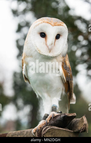 Head On View Of A Wild Barn Owl Tyto Alba Soaring And
