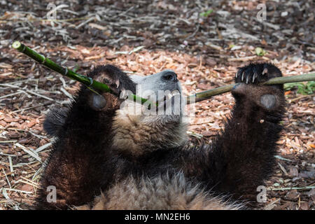 Young two year old giant panda (Ailuropoda melanoleuca) cub eating bamboo - Stock Photo