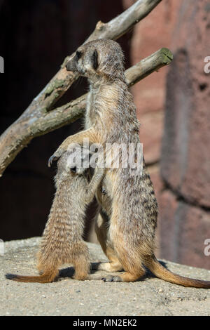 Meerkat / suricate (Suricata suricatta) young suckling milk from female, native to South Africa - Stock Photo