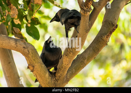 A couple of crow seating on tree branch & loving together in public park. - Stock Photo
