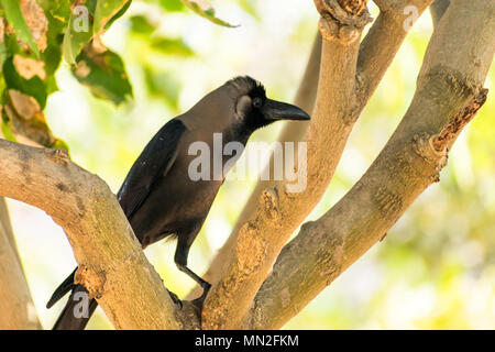 A crow seating on tree branch  in public park looking awesome at sunny day. - Stock Photo