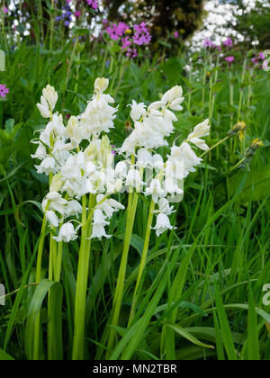 White form of the hybrid cross between the English and Spanish bluebell, Hyacinthoides x massartiana 'Alba' naturalised in a meadow - Stock Photo
