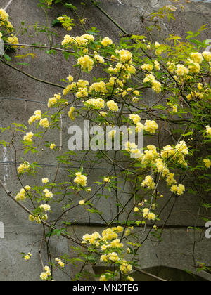 Small, double, yellow flowers of the rambling Banksian rose, Rosa banksiae 'Lutea',trained on a wall - Stock Photo