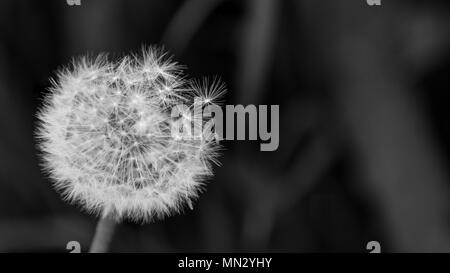 Close-up of fluffy overblown dandelion head. Taraxacum officinale. Beautiful black and white blowball. Fragile seeds. Dark sad background. Copy space.