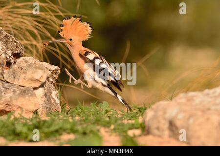 Eurasian Hoopoe or Upupa epops, beautiful brown bird in flight entering the nest - Stock Photo