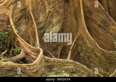 The buttress roots of a Ficus tree in the jungle, Quebrada Valencia, Magdalena, Colombia - Stock Photo
