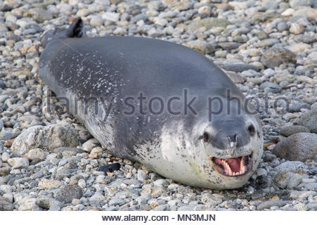 A Leopard seal, Hydrurga leptonyx, rests on the rocky beach of Puero Cook. - Stock Photo