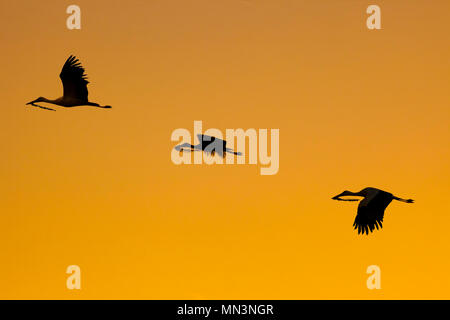 Three white storks in flight with branch in its beak for building nest. Silhouettes over orange sky - Stock Photo