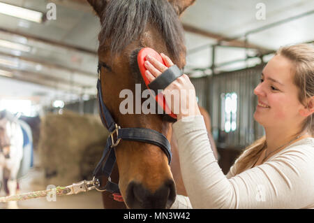 Closeup shows a young woman on a horse farm. She carefully straightens the fur on her horse's face. It is a Hanoverian who enjoys this massage. - Stock Photo