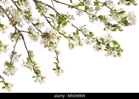 Frame with blooming apple twigs on a white backgr - Stock Photo