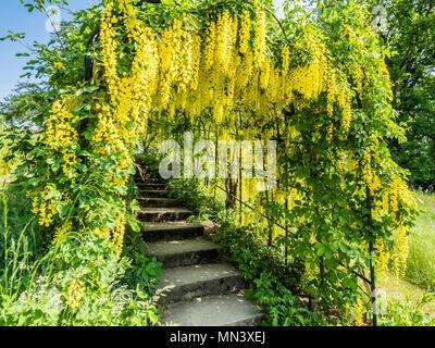Passage covered by Golden rain, Laburnum anagyroides, garden 'Heilpflanzengarten', Celle, Germany - Stock Photo