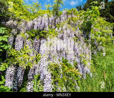 Blauregen, Chinese wisteria, garden 'Heilpflanzengarten', Celle, Germany - Stock Photo