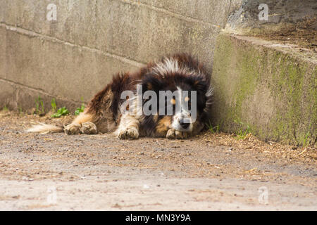 Old working farm dog having a rest after a hard day - Stock Photo