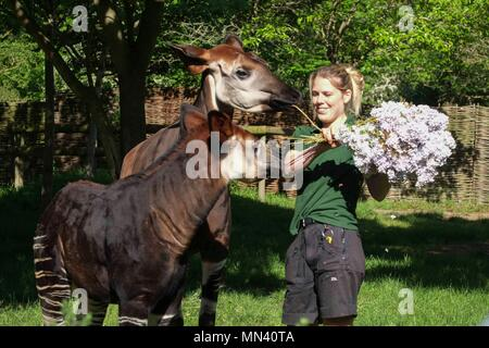 London, UK 14th May 2018: ZSL London Zoo okapi keeper Gemma Metcalf gives Meghan  the okapi and her mother Oni a royal treat to celebrate the forthcoming Royal Wedding – a bouquet of edible lilac flowers at London Zoo, UK on May 14, 2018. The five-month-old was named after Meghan to commemorate the Royal couple's engagement. : Credit Claire Doherty/Alamy Live News - Stock Photo