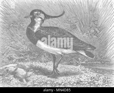 BIRDS. Common lapwing 1895 old antique vintage print picture - Stock Photo