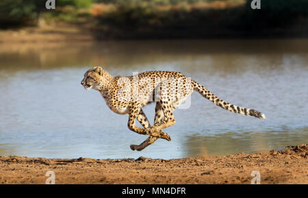 Cheetah running at full speed in South Africa (Acinonyx jubatus) - Stock Photo