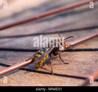 European hornet Vespa crabro  - Stock Photo