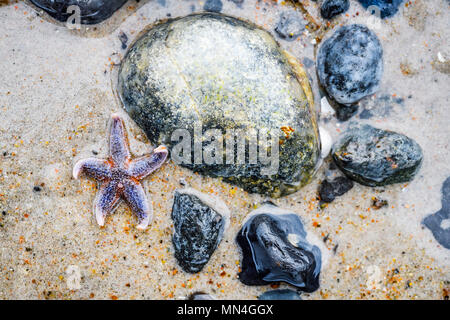 Starfish and stones on the beach of the Baltic Sea in Scharbeutz, Schleswig-Holstein, Germany, Europe, Seestern und Steine am Ostseestrand in Scharbeu - Stock Photo
