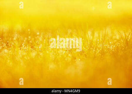 Grass Background : Abstract natural background green grass with a beautiful bokeh. Dew in an early morning on the top of the grasses. - Stock Photo