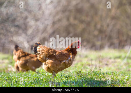 Big nice beautiful red brown hens feeding outdoors in green meadow with fresh grass on bright sunny day on blurred background. Farming of poultry, chi - Stock Photo