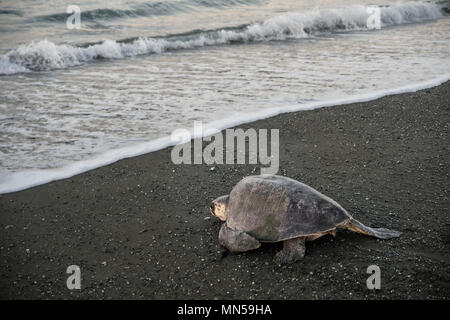 Olive Ridley Green Turtle, Lepidochelys olivacea, during spawning, Cheloniidae, Carate Beach, Corcovado National Park, Costa Rica, Centroamerica - Stock Photo