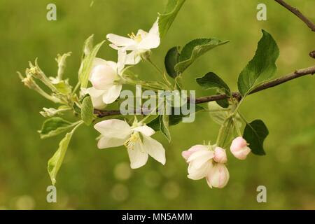 Bracnh with flowers of apple (Malus domestica) - Stock Photo