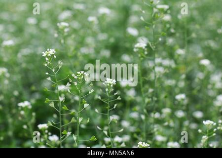Green meadow with shepherd's purse plant (Capsella bursa-pastoris) - Stock Photo