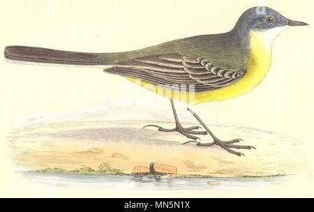 BIRDS. Grey- Headed Yellow Wagtail (Bree) 1859 old antique print picture - Stock Photo
