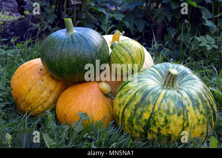General plan of pumpkins collected in a heap. - Stock Photo
