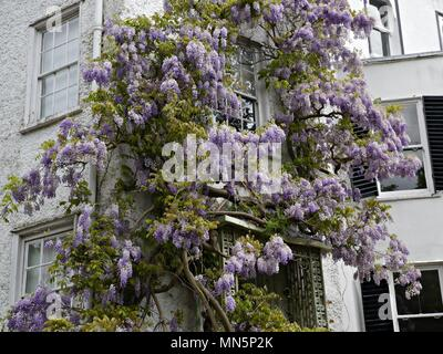 Lilac Wisteria covering the front of a White House in Twickenham London UK - Stock Photo