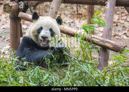 Portrait of a giant panda eating bamboo . . - Stock Photo