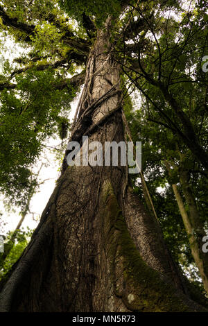 Strangler tree wrapped around a giant buttress root tree in the rainforest of Costa Rica's National Park. - Stock Photo