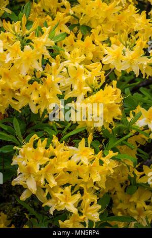 Hendricks Park, Rhododendron Gardens in Eugene, Oregon, USA. - Stock Photo