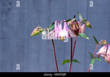Pale pink Aquilegia flowers and leaves against grey background - Stock Photo
