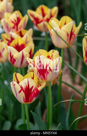 Tulipa Triumph 'Helmar'. Tulip 'Helmar' flower display. UK - Stock Photo