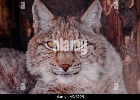 Eurasian lynx (lynx lynx) eyes  looking at you - Stock Photo